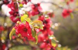 Flores vermelhas de um marmelo de florescência Foto de Stock Royalty Free