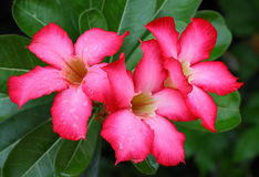 Flores vermelhas do adenium Fotos de Stock Royalty Free