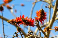 Flores vermelhas do aloés Imagem de Stock Royalty Free