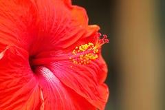 Flores vermelhas do amarelo da flor do hibiscus imagens de stock