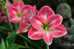 Flores vermelhas do Amaryllis imagem de stock