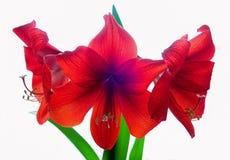 Flores vermelhas do Amaryllis Imagens de Stock
