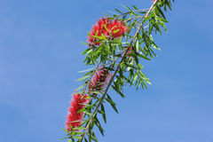 Flores vermelhas do Bottlebrush Fotografia de Stock Royalty Free