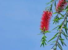 Flores vermelhas do Bottlebrush Imagem de Stock