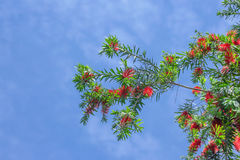 Flores vermelhas do Bottlebrush Foto de Stock Royalty Free