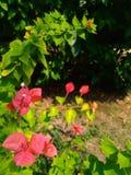 Flores vermelhas do Bougainvillea Fotografia de Stock Royalty Free