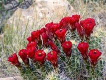 Flores vermelhas do cacto Fotografia de Stock