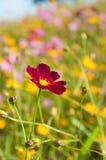 Flores vermelhas do cosmos entre o fundo amarelo do cosmos Fotografia de Stock