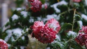 Flores vermelhas do crisântemo com as folhas verdes sob a neve A primeira neve, outono, mola, inverno adiantado Movimento lento vídeos de arquivo