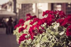 Flores vermelhas do gardenium em um restaurante da rua Fotografia de Stock
