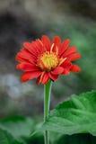 Flores vermelhas do gerbera Foto de Stock