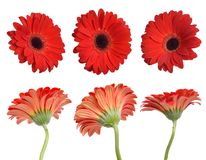 Flores vermelhas do gerbera Isolado Imagens de Stock