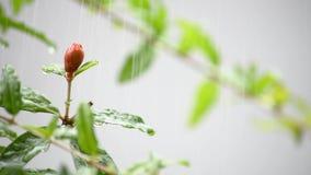 Flores vermelhas do granatum do Punica na árvore, naquela que balançam no vento e na chuva video estoque