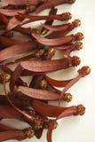 Flores vermelhas do intricatus de Dipterocarpus em um fundo branco Imagem de Stock Royalty Free