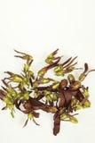 Flores vermelhas do intricatus de Dipterocarpus em um fundo branco Foto de Stock Royalty Free