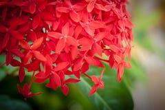 Flores vermelhas do ixora imagens de stock