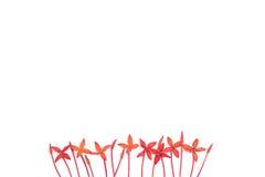 Flores vermelhas do ixora Foto de Stock