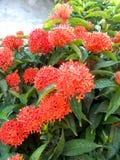 Flores vermelhas do ixora Fotografia de Stock