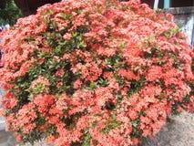 Flores vermelhas do ixora Fotos de Stock Royalty Free