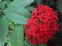 Flores vermelhas do ixora no fundo do contexto Imagem de Stock