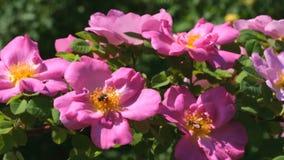 Flores vermelhas do jardim de rosas filme