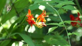 Flores vermelhas do lírio de Crocosmia video estoque