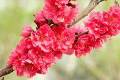 Flores vermelhas do pêssego Fotos de Stock Royalty Free