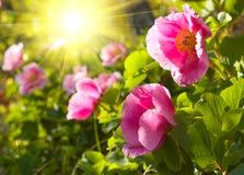 Flores vermelhas do peony Fotografia de Stock