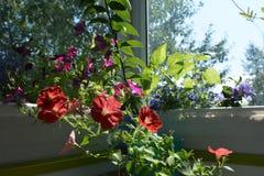Flores vermelhas do petúnia no dia de verão ensolarado Jardim pequeno no balcão com as plantas de florescência em uns recipientes foto de stock royalty free