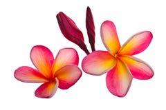 Flores vermelhas do plumeria Foto de Stock