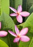 Flores vermelhas do plumeria Fotos de Stock Royalty Free