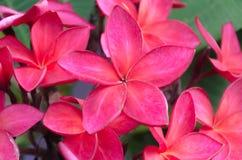 Flores vermelhas do plumeria Fotografia de Stock