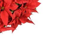 Flores vermelhas do poinsettia Fotos de Stock