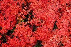 Flores vermelhas do ponto fotografia de stock