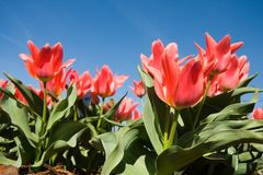 Flores vermelhas do tulip Fotos de Stock