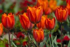 Flores vermelhas do tulip Foto de Stock