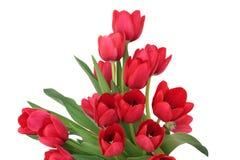 Flores vermelhas do Tulip Fotografia de Stock Royalty Free