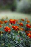 Flores vermelhas dos cravos Fotos de Stock Royalty Free