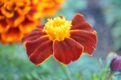 Flores vermelhas e alaranjadas Fotografia de Stock Royalty Free