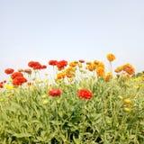 Flores vermelhas e alaranjadas do galata da cor no arquivado e folhas verdes imagens de stock royalty free