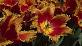Flores vermelhas e amarelas dos lírios vídeos de arquivo