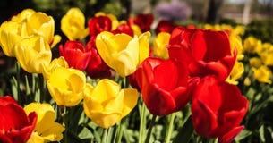 Flores vermelhas e amarelas, tulipas da mola no dia ensolarado Floresce o conceito Fotos de Stock Royalty Free