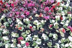 Flores vermelhas e brancas da begônia Foto de Stock