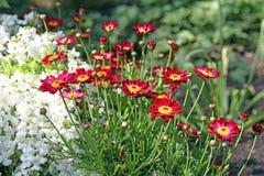 Flores vermelhas e brancas do verão Fotos de Stock Royalty Free