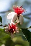 Flores vermelhas e brancas macro Fotografia de Stock