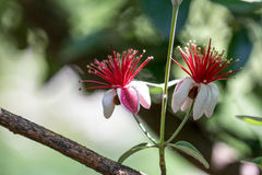Flores vermelhas e brancas macro Imagem de Stock Royalty Free