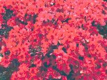 Flores vermelhas e cor-de-rosa na cama fotografia de stock