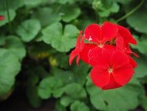 Flores vermelhas em um fundo verde Foto de Stock
