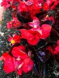 Flores vermelhas em um jardim imagem de stock