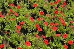 Flores vermelhas em um jardim Foto de Stock Royalty Free